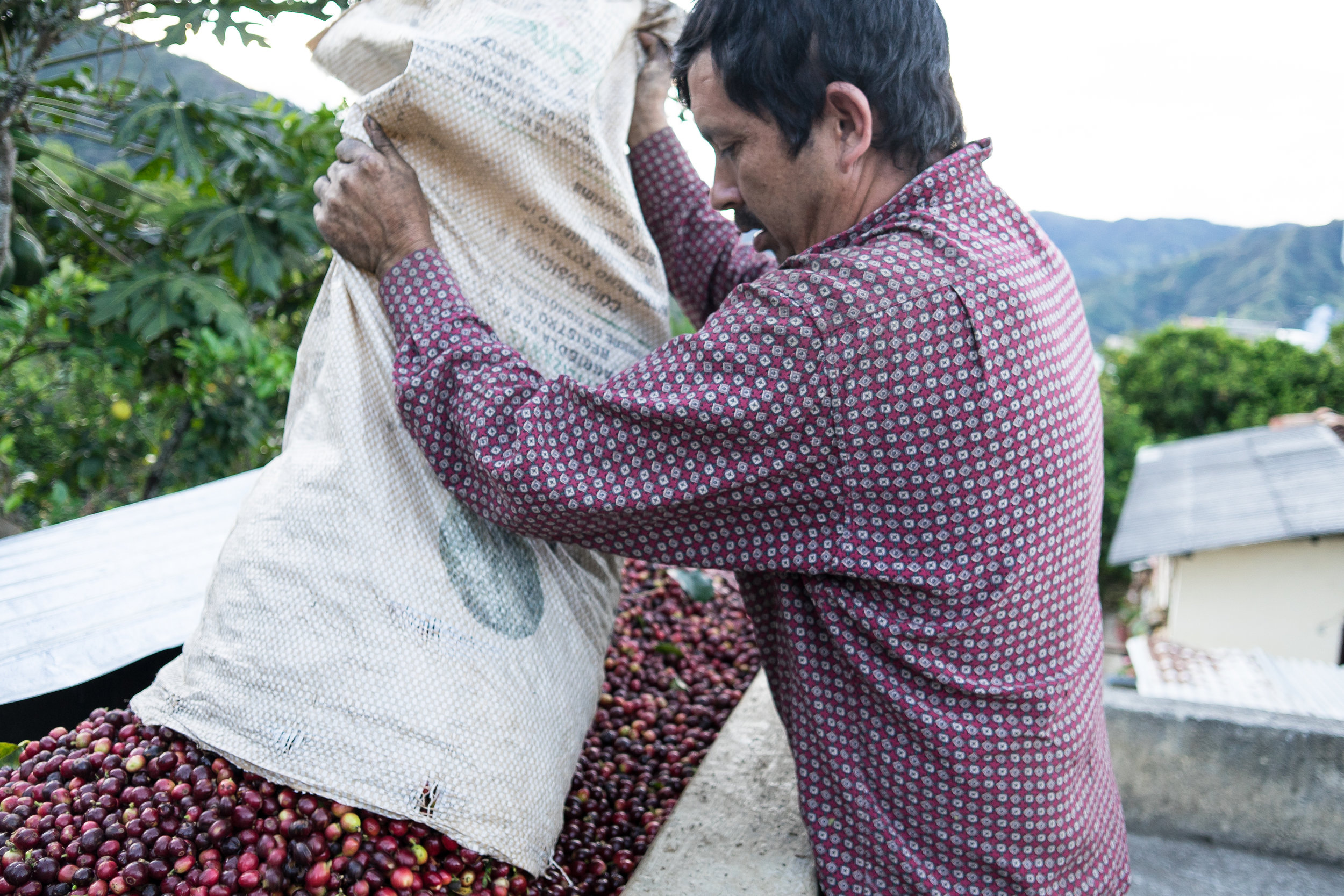 One of the pickers releasing his harvest into the pulping feeder on top of the Argote estate roof.