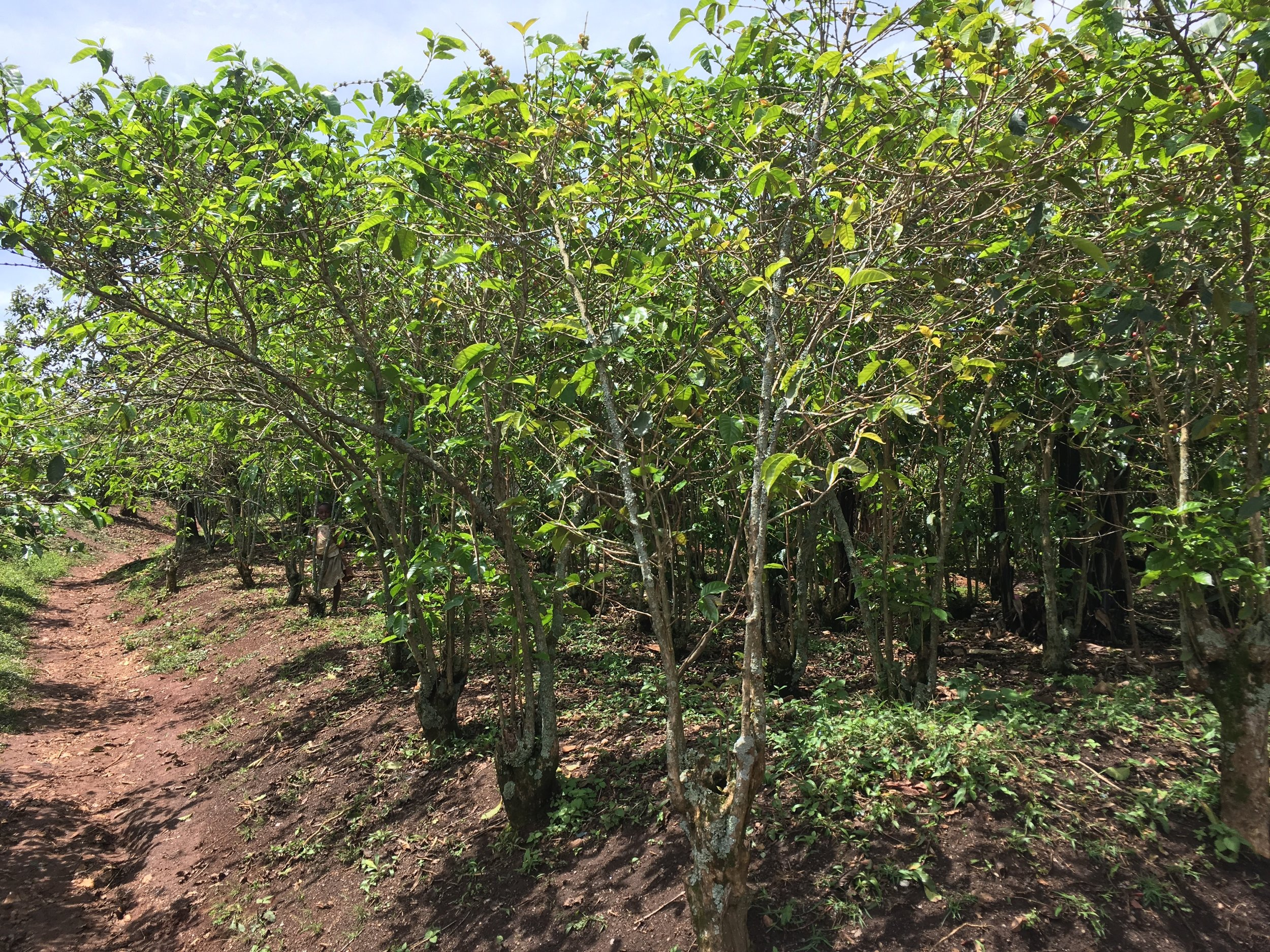 The age of Idjwi's coffee trees is apparent when seeing the girth of these trunks. Some of them are older than 50 years and manage to stay healthy on a wholly organic diet...