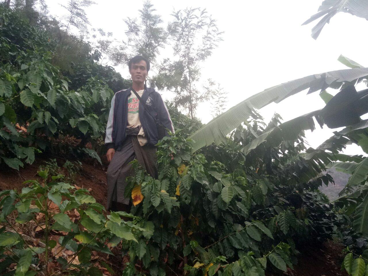 The fields of coffee around Hopong.