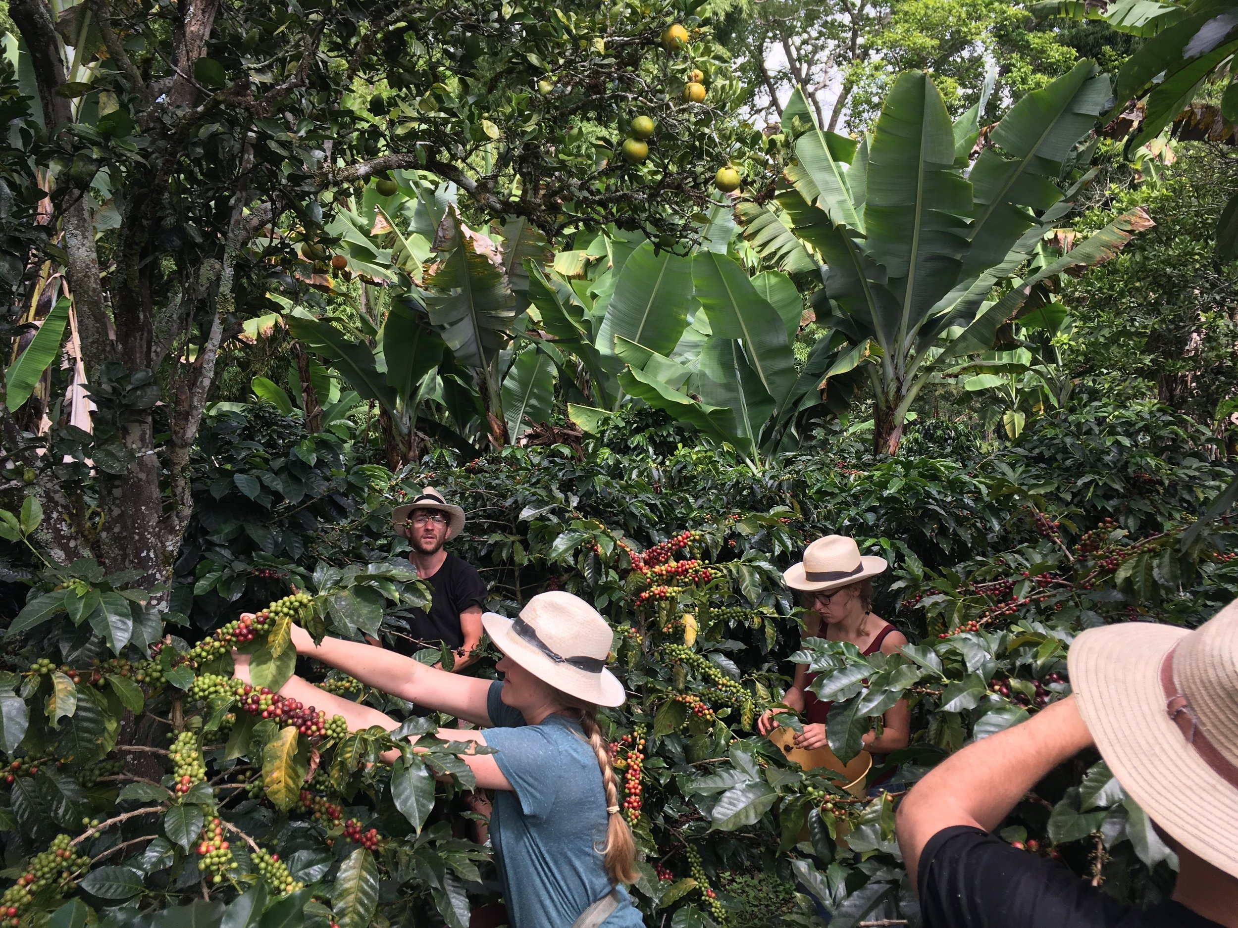 field baristas harvesting close to the Argote family house.