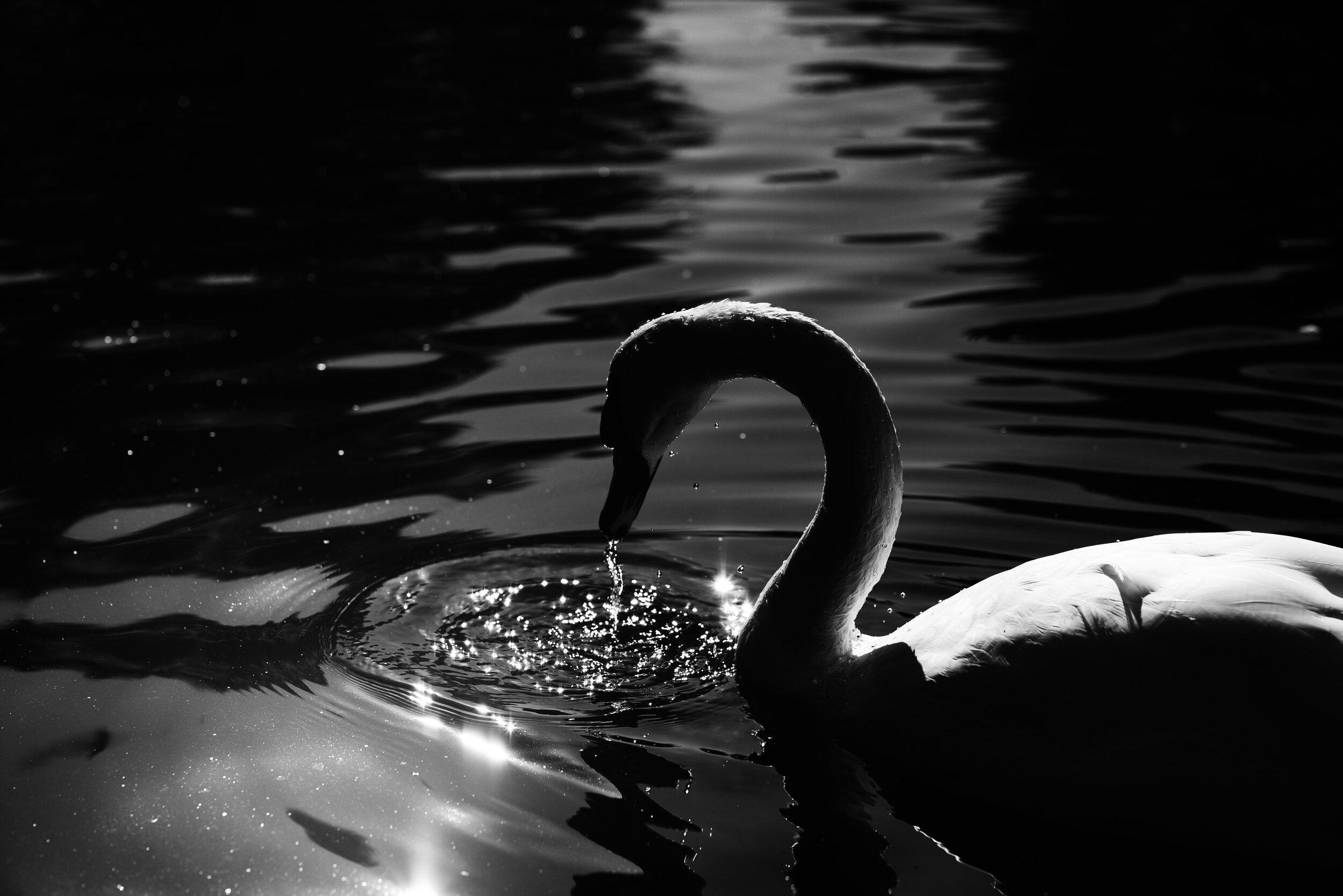 bw swan.jpg