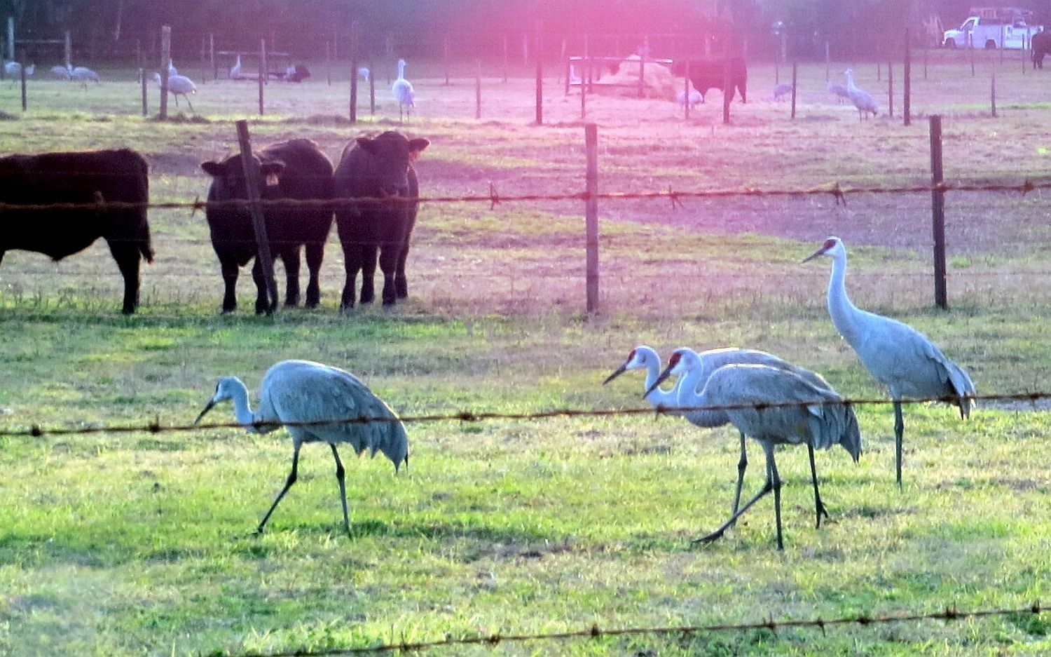 cranes and cows with some nice residual early morning light