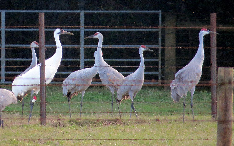 whooper and sandhill cranes cruising around