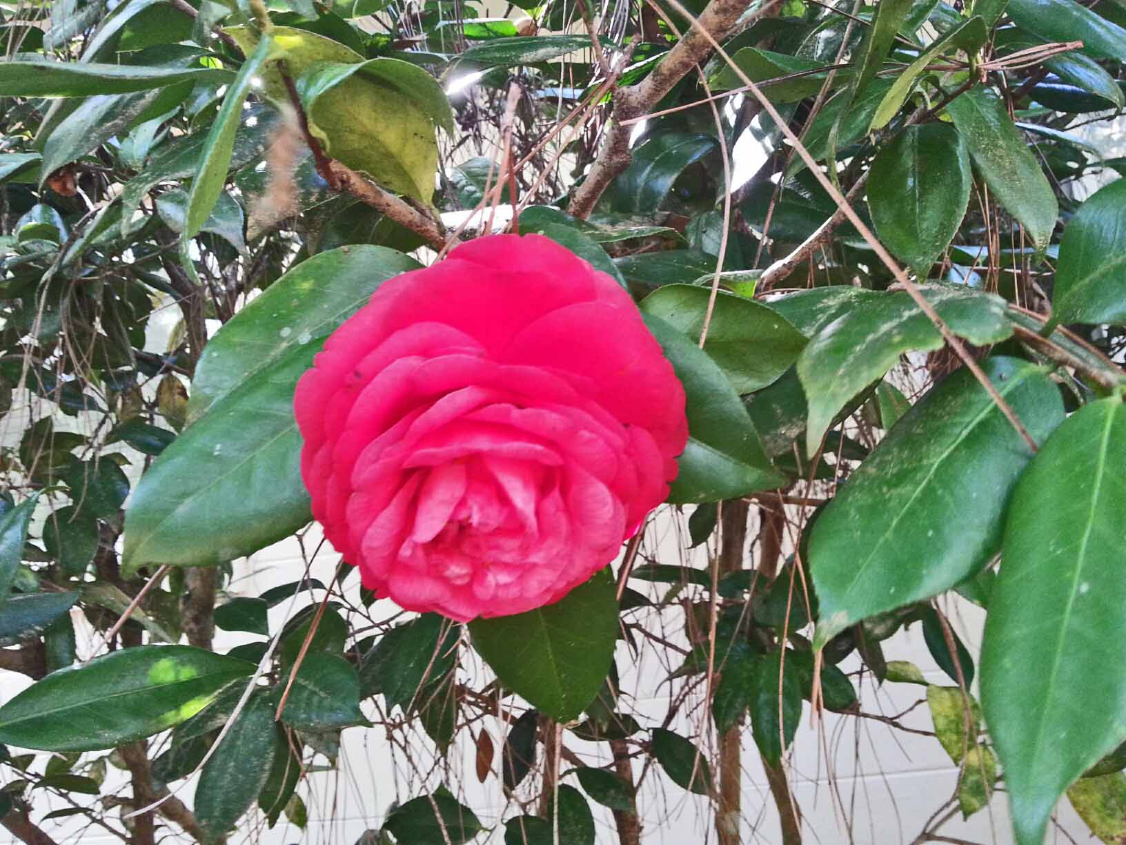 The very last camellia ... they've been blooming for months and have been such a joy to witness