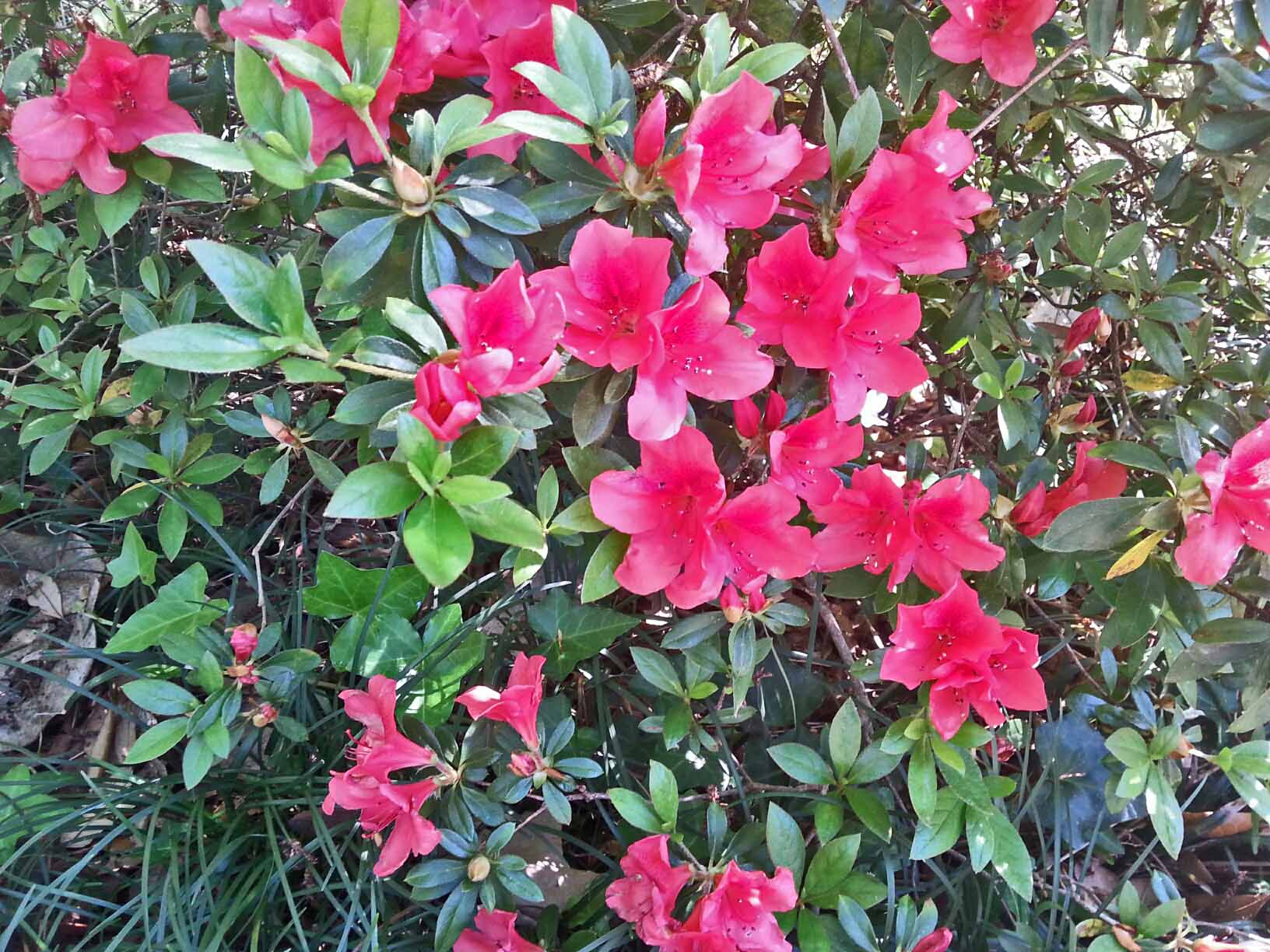 We thought the azaleas were done and had been beat down by the rains ... not so! One last bush has burst into bloom ... lovely!