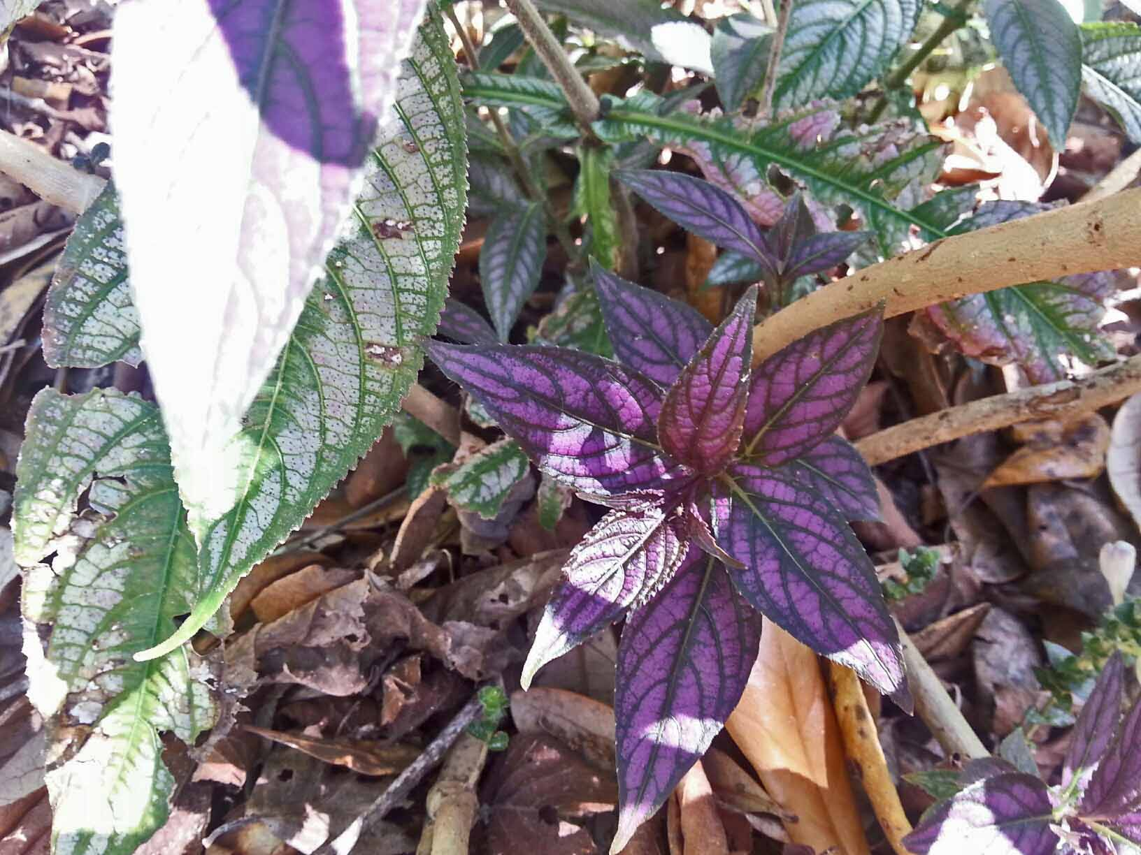 The massive stand of persian shield is a perfect mix of beginnings and endings ... glorious new leaves are sprouting from all the crusty, dead looking branches.