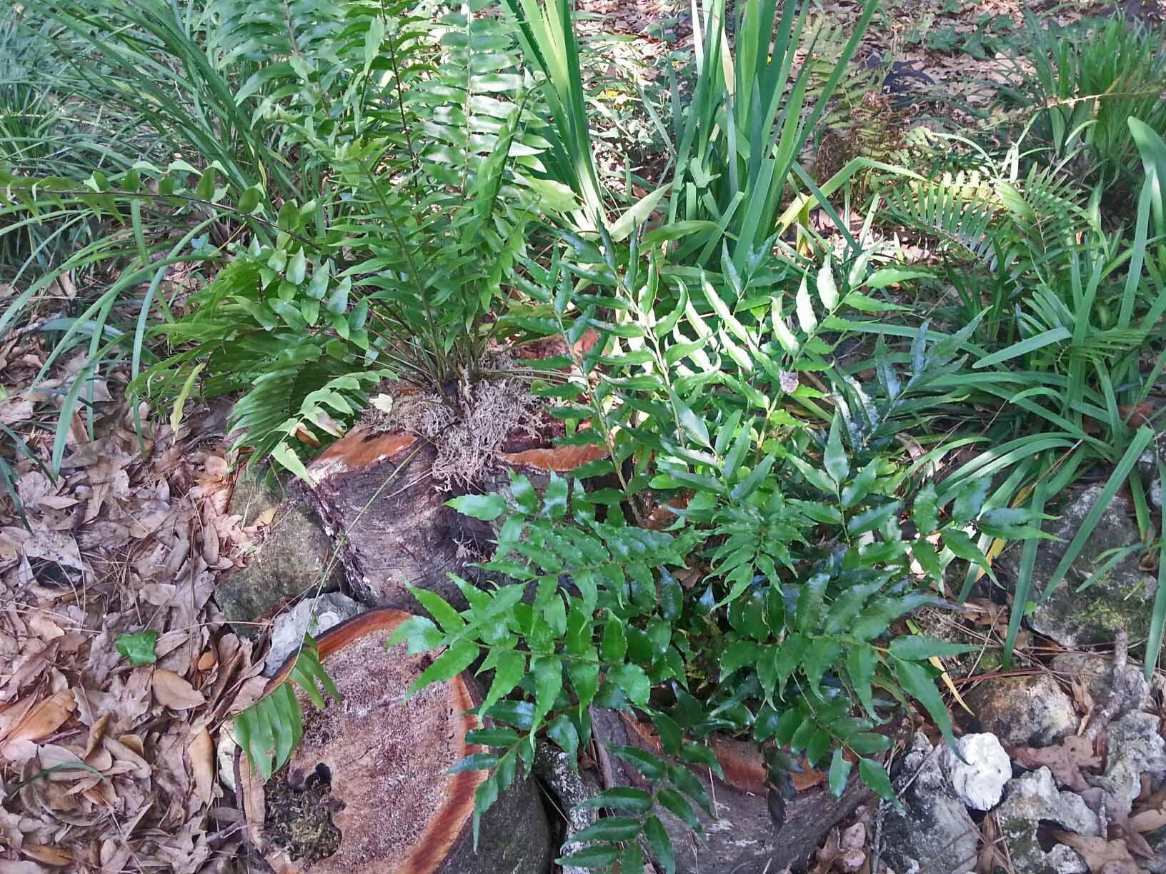 My sunken fern grotto is thriving ...