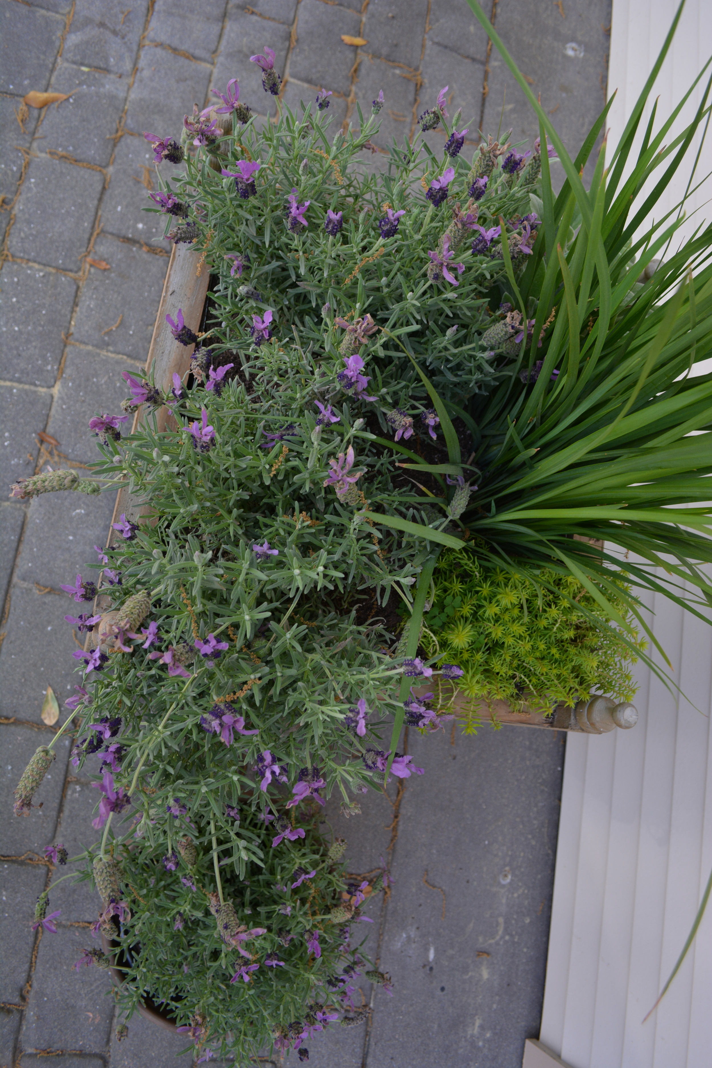 Our large containers filled with several plants, including lavender, irises, and sedum.