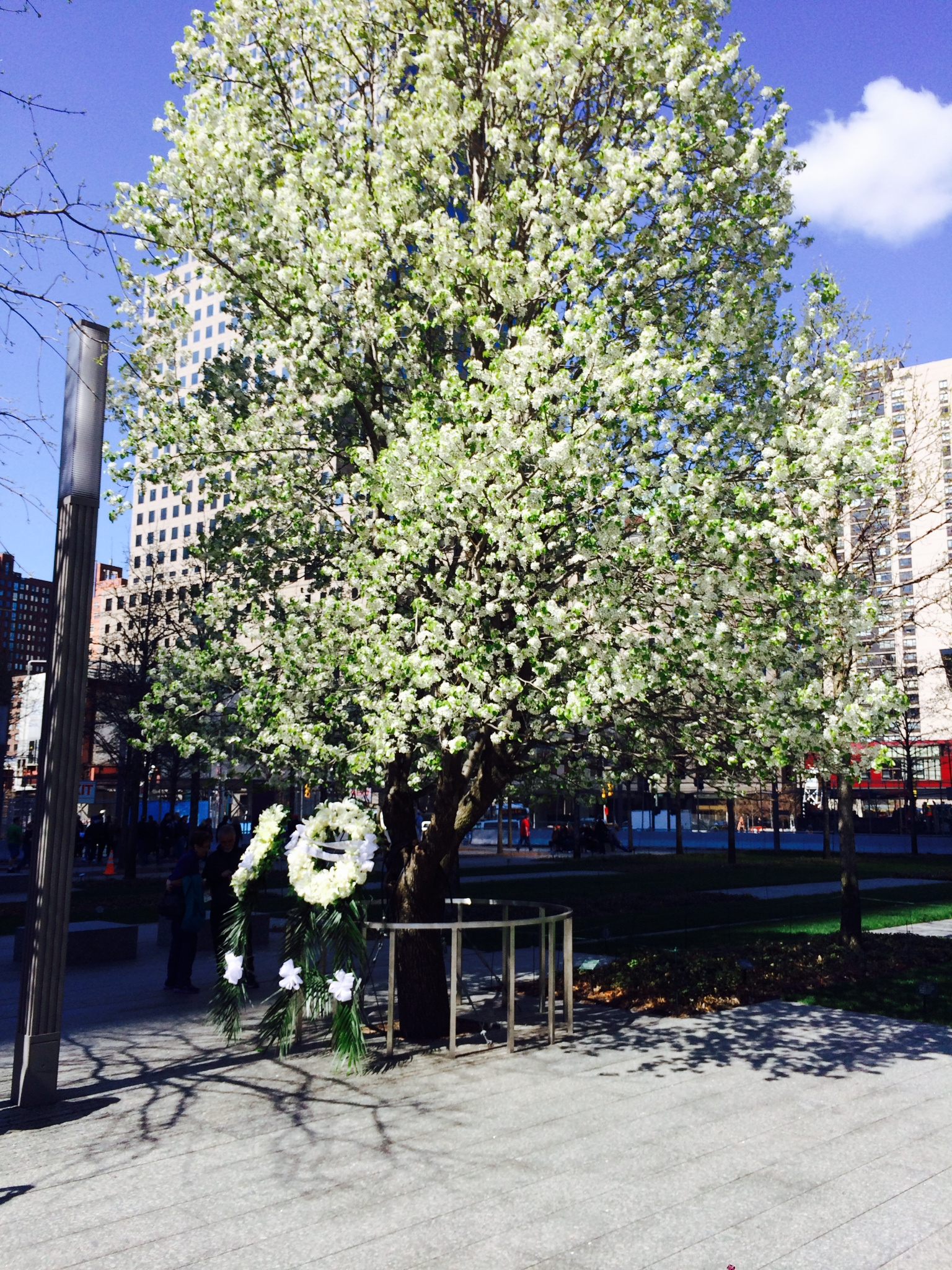 A tree that survived the terror attacks, blooming for spring.