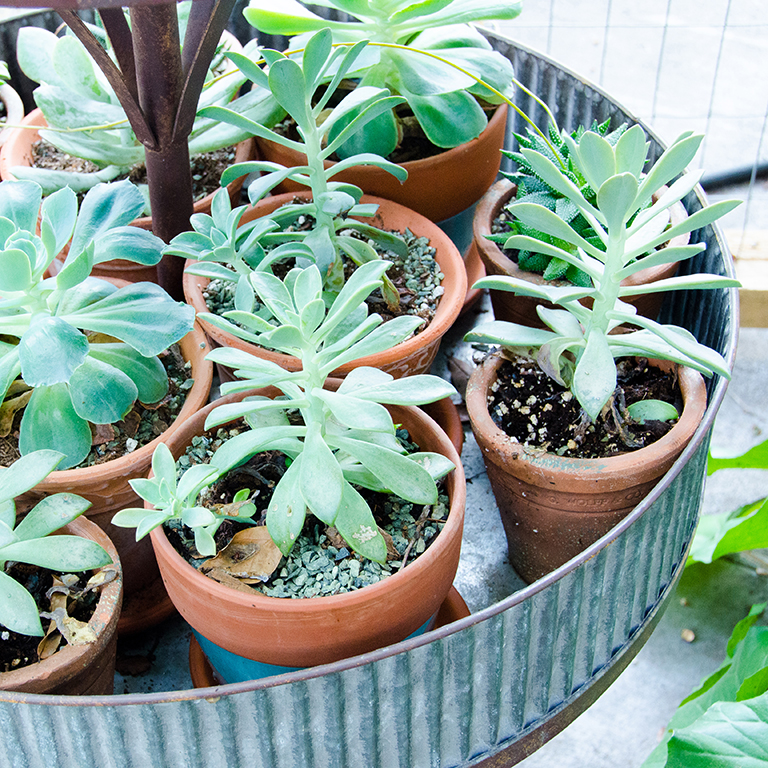 Succulents: $26