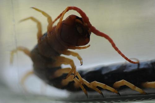 Texas Sized Centipede