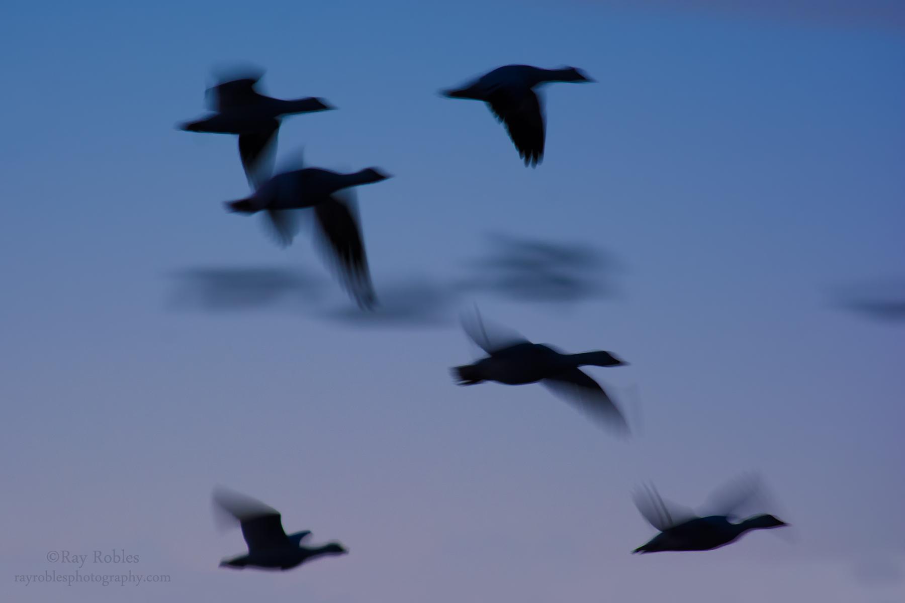 Geese Flock