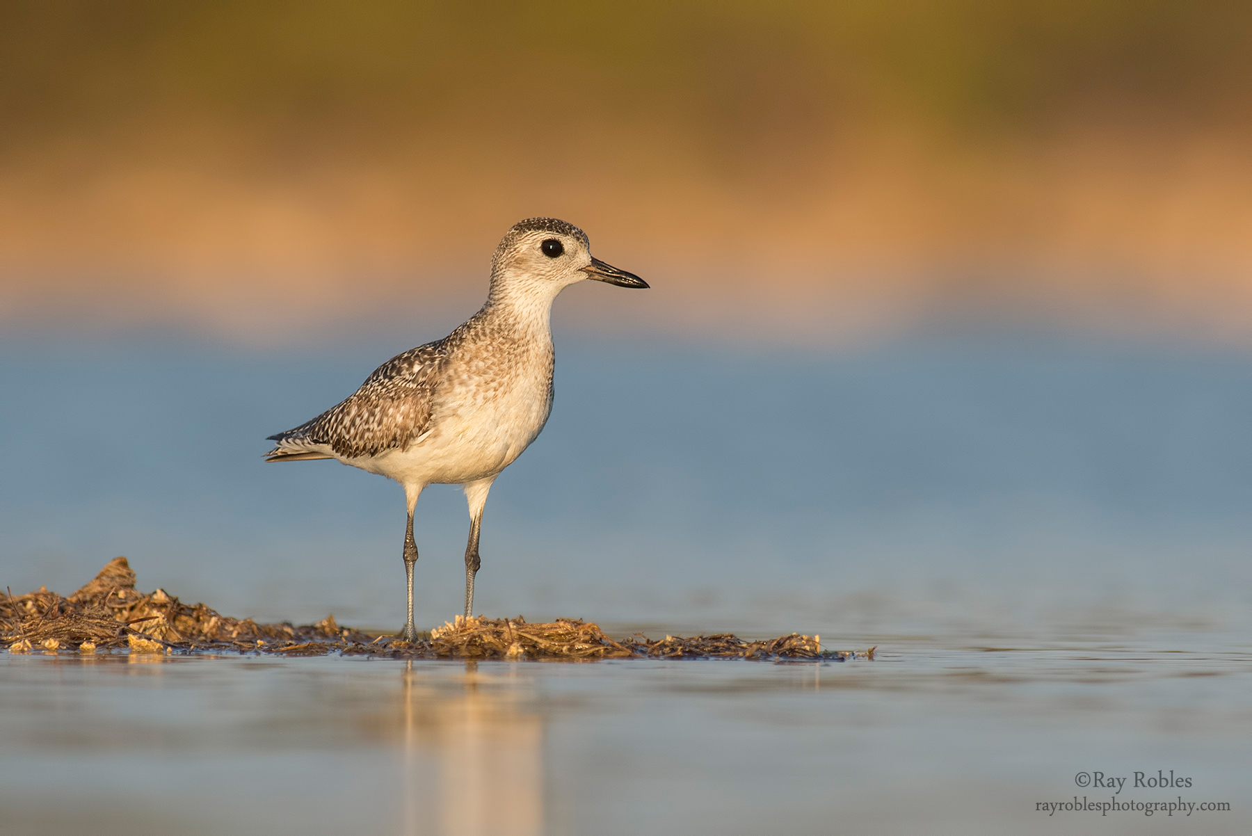 Black-bellied Plover (8).jpg