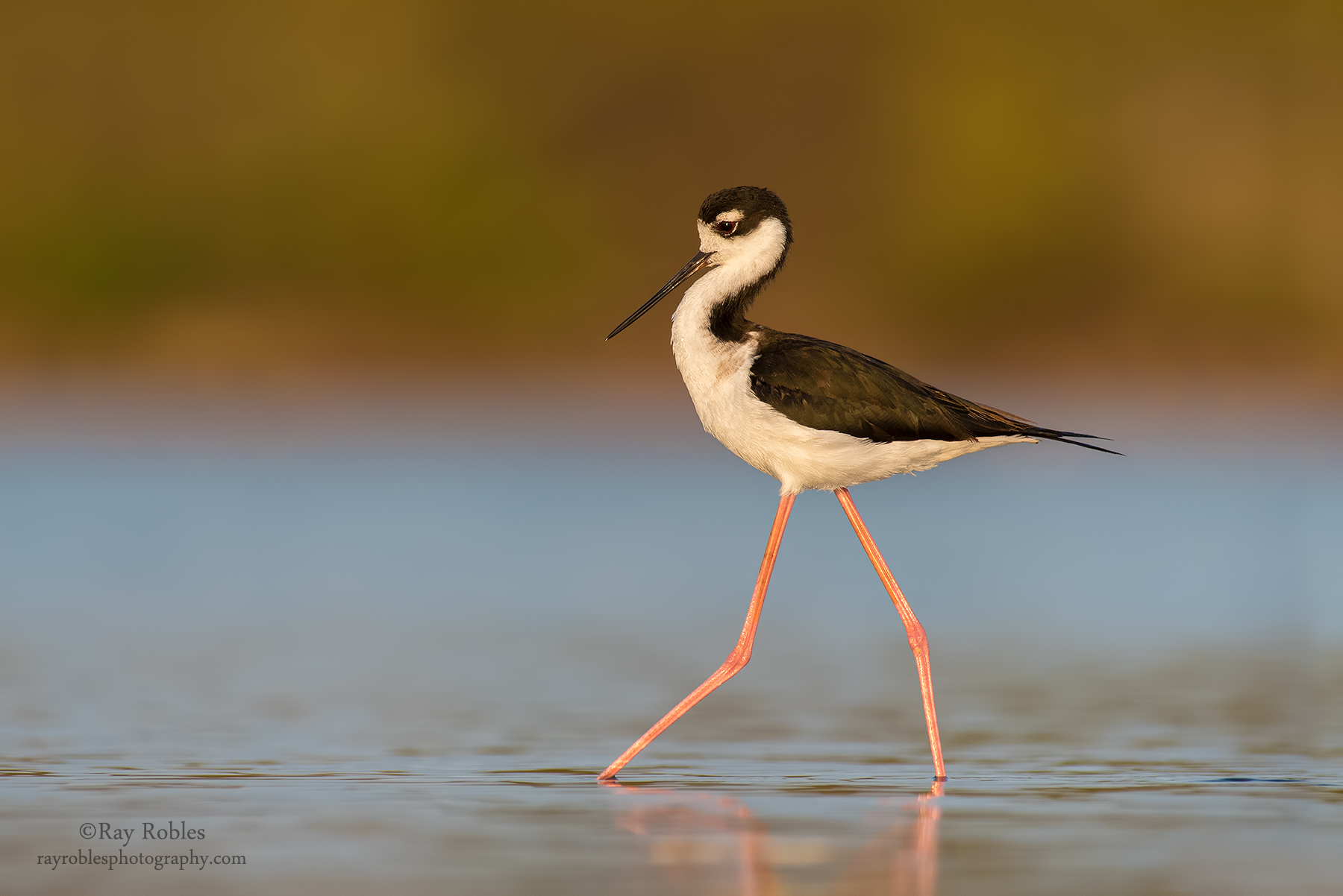 Black-Necked Stilt (13).jpg