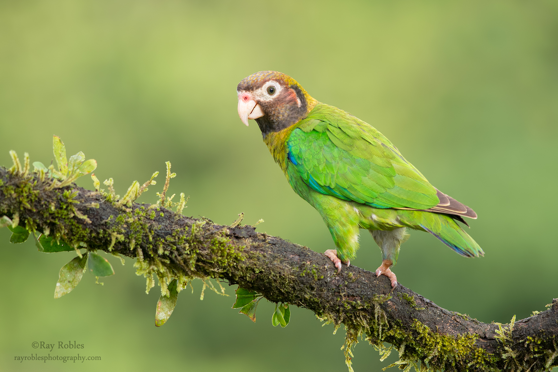 Brown-hooded Parrot.jpg