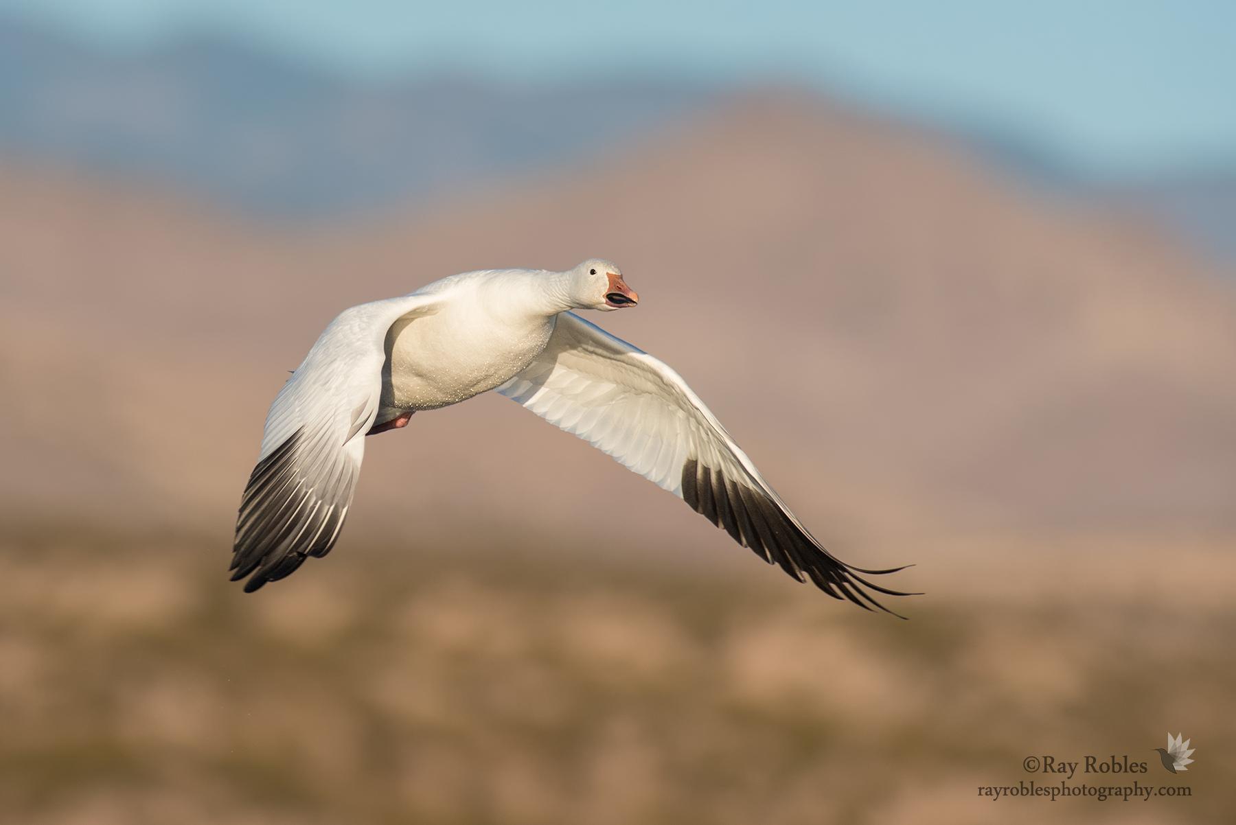 Snow Goose (15).jpg