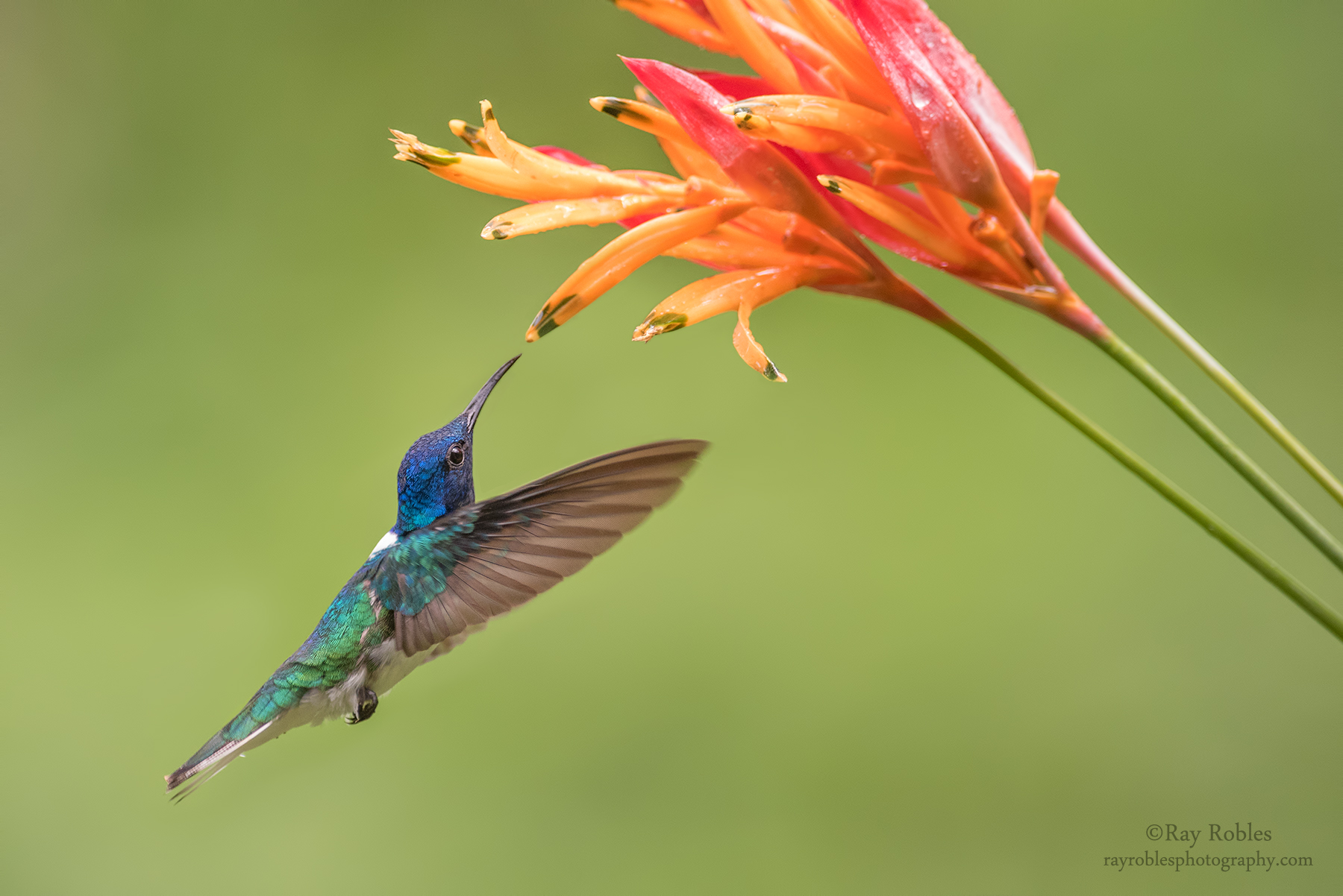 White-necked Jacobin (2).jpg