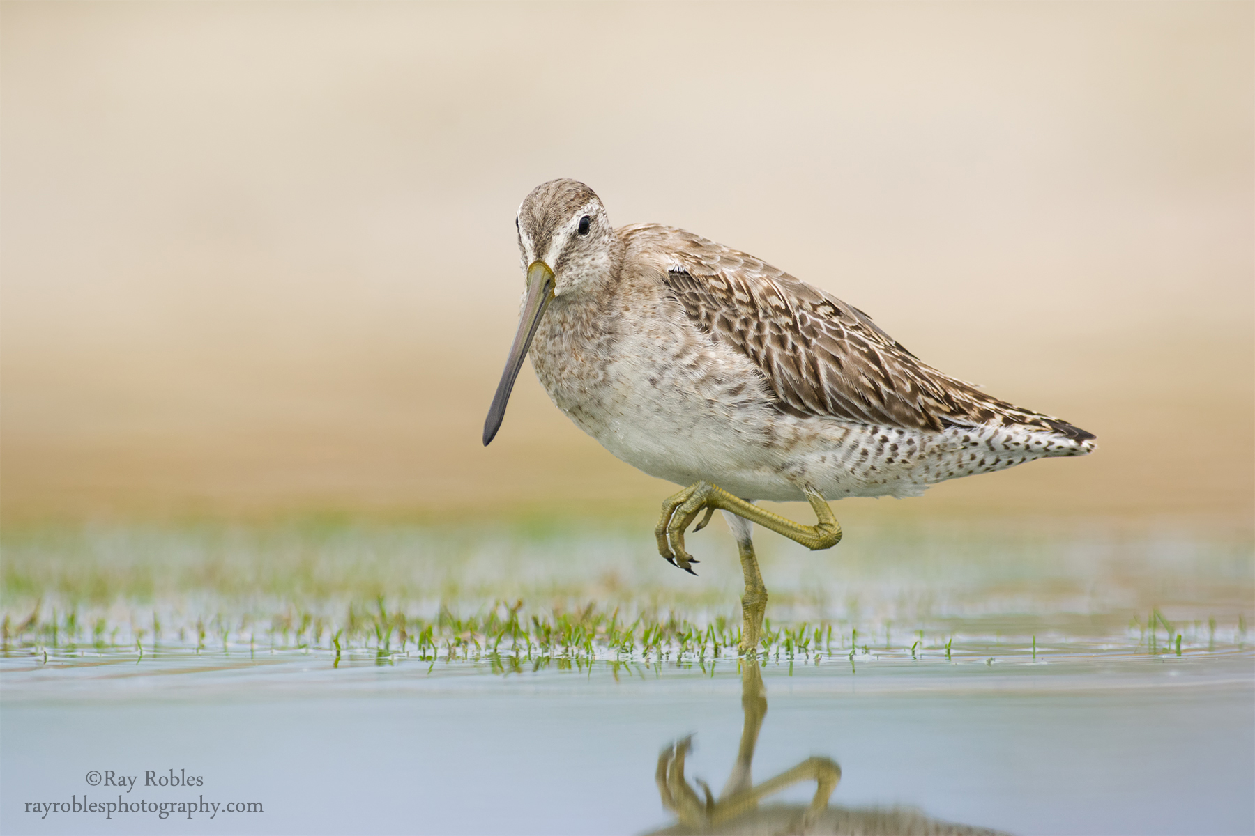 Short-billed Dowitcher.jpg