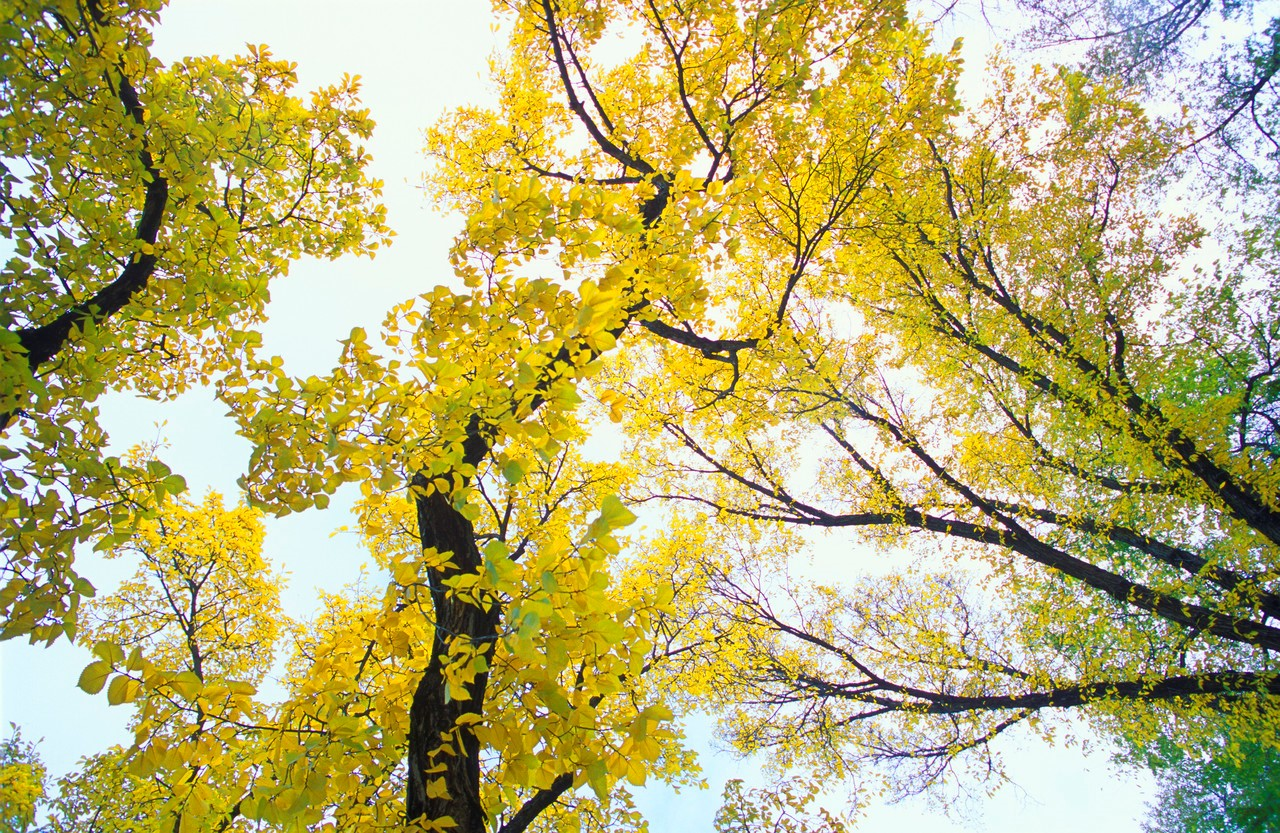 yellow leaf trees.jpg
