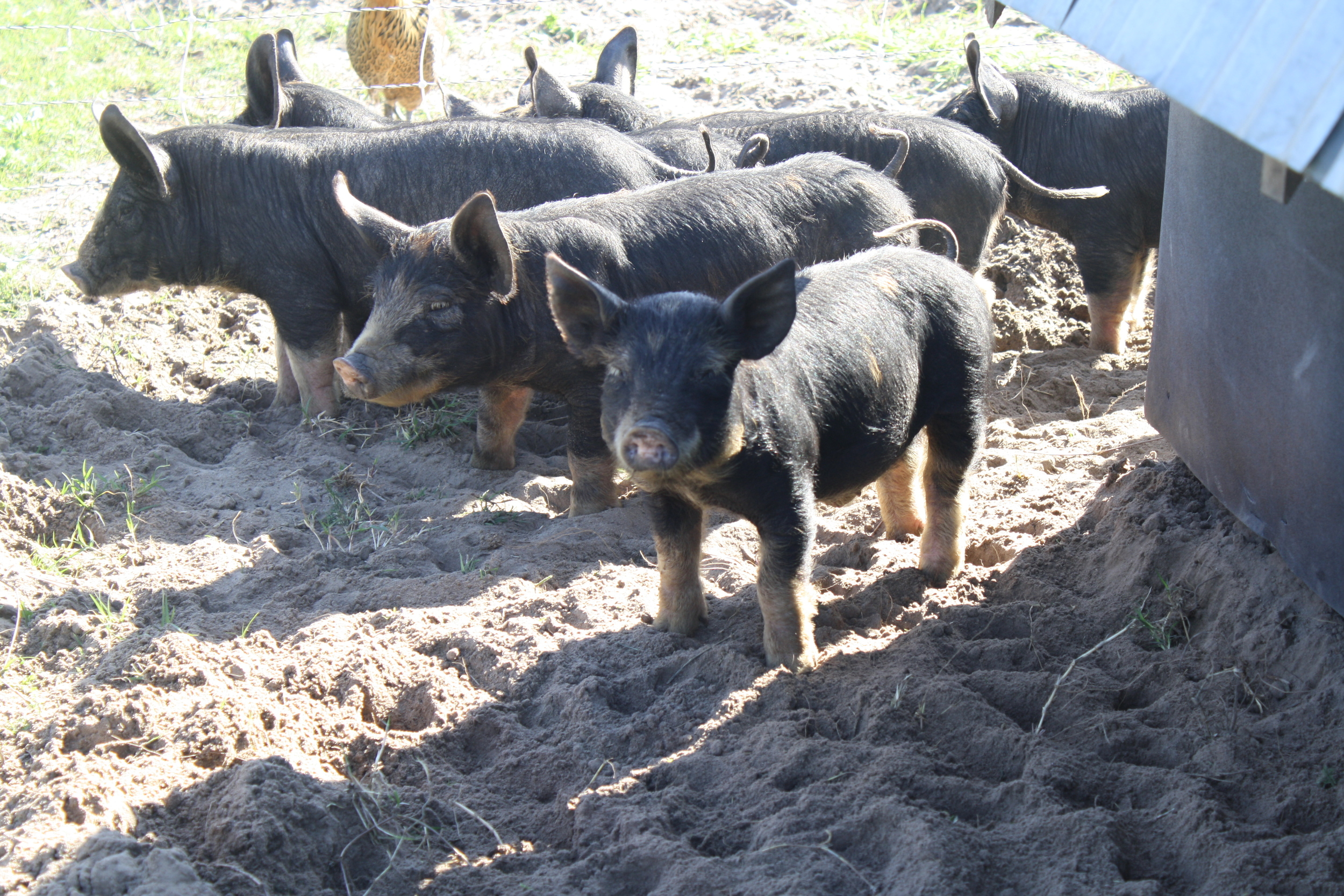 New litter of heritage piglets