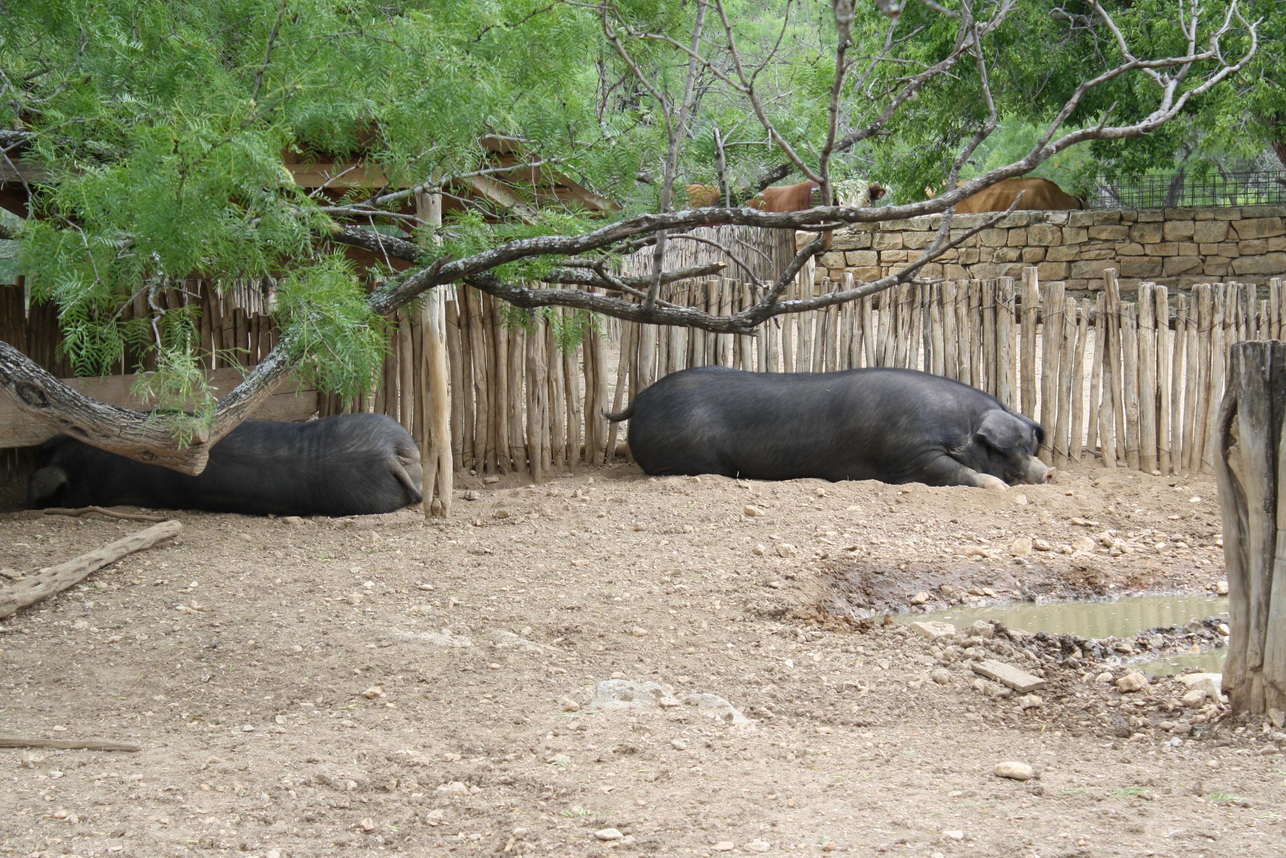 Massive hogs