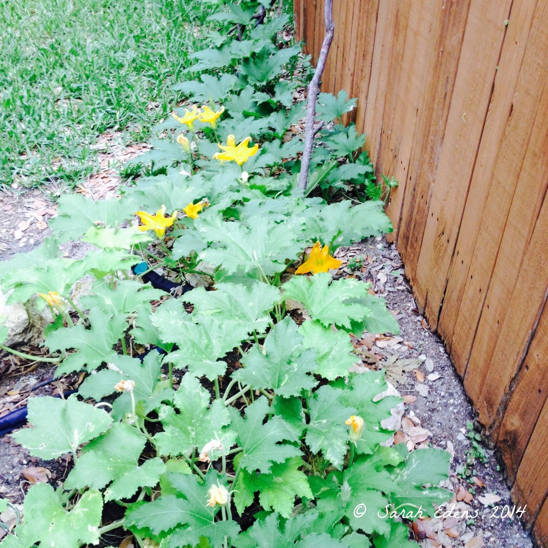 Pumpkins, end of May
