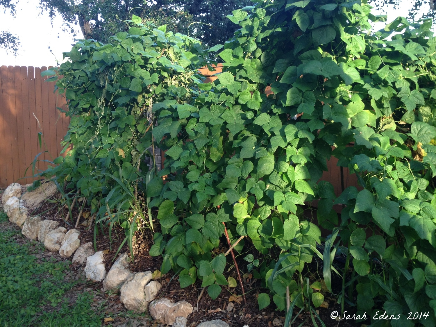 Early July: green beans are taller than the fence!