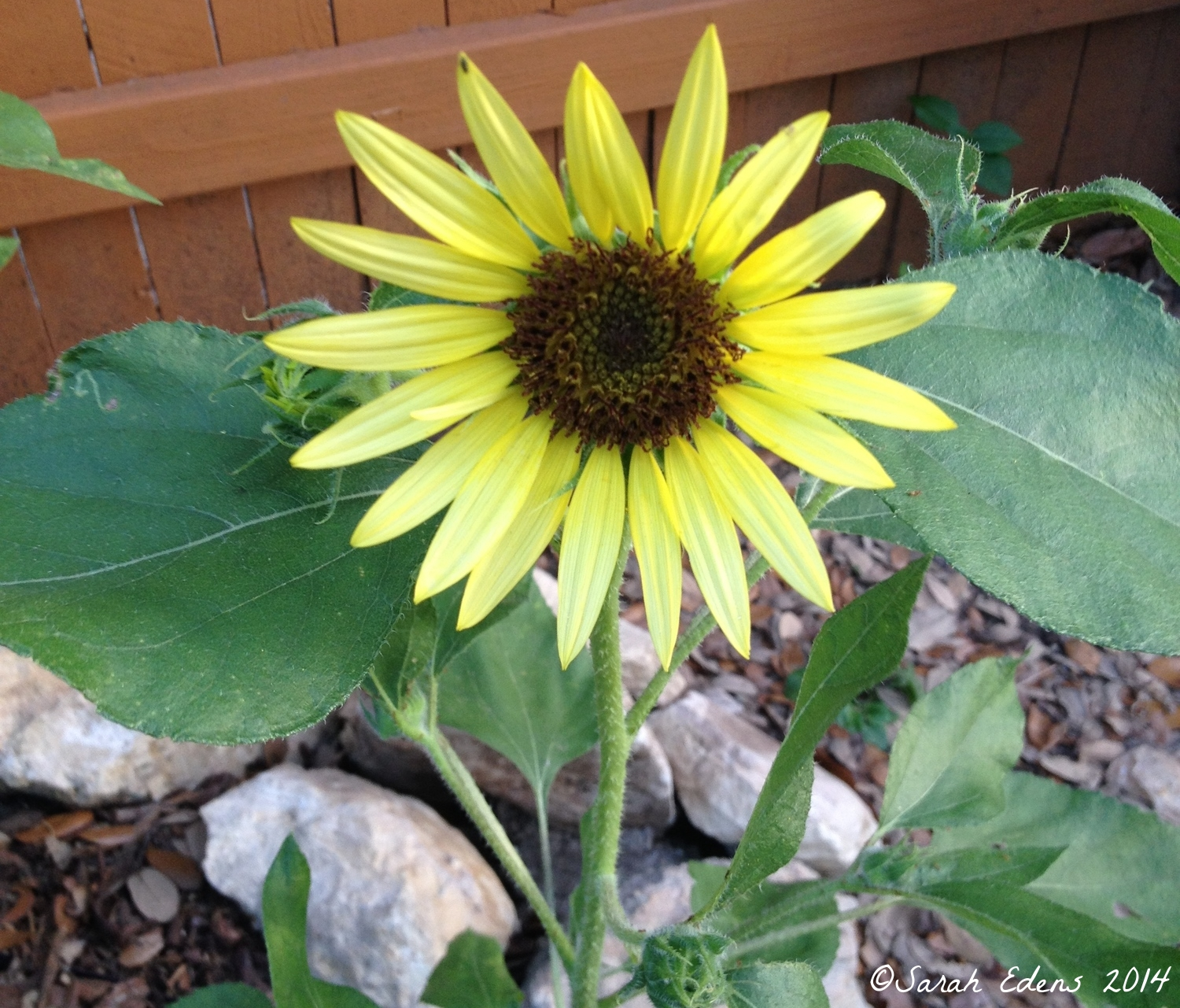 Early July: more gorgeous sunflowers