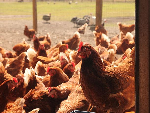 lm chickens.jpg