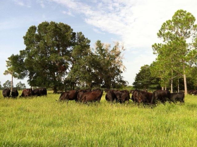 tl cows.jpg