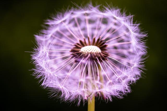 dandelion-4239936_640.jpg
