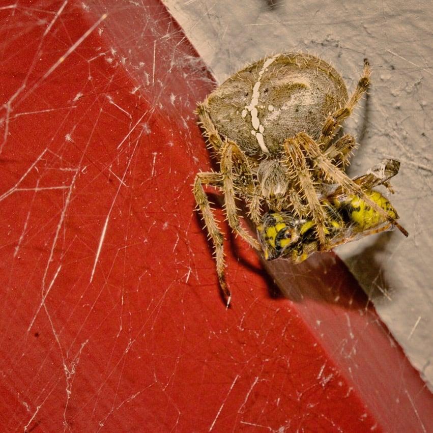 Jewel Spider photographed October, 2015