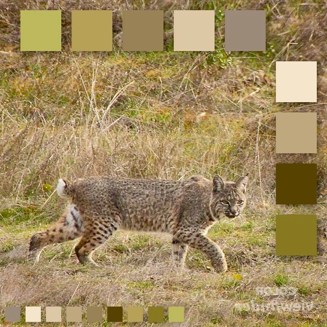 CP - Tawny Bobcat.jpg