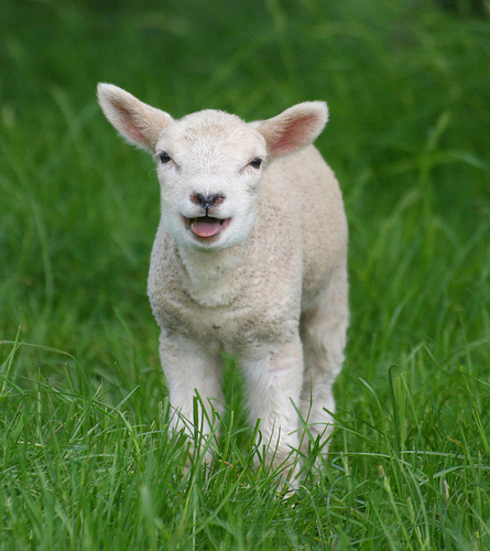Grass; all it takes to make a Lamb happy.
