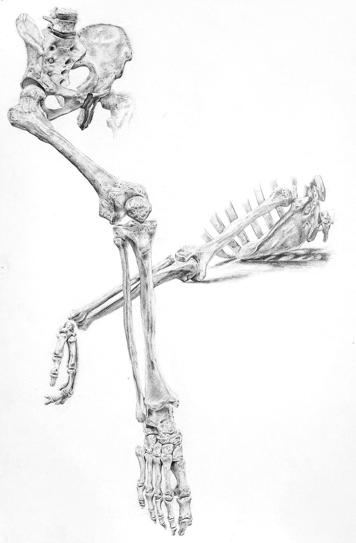 Anatomy Study III (2012) Graphite