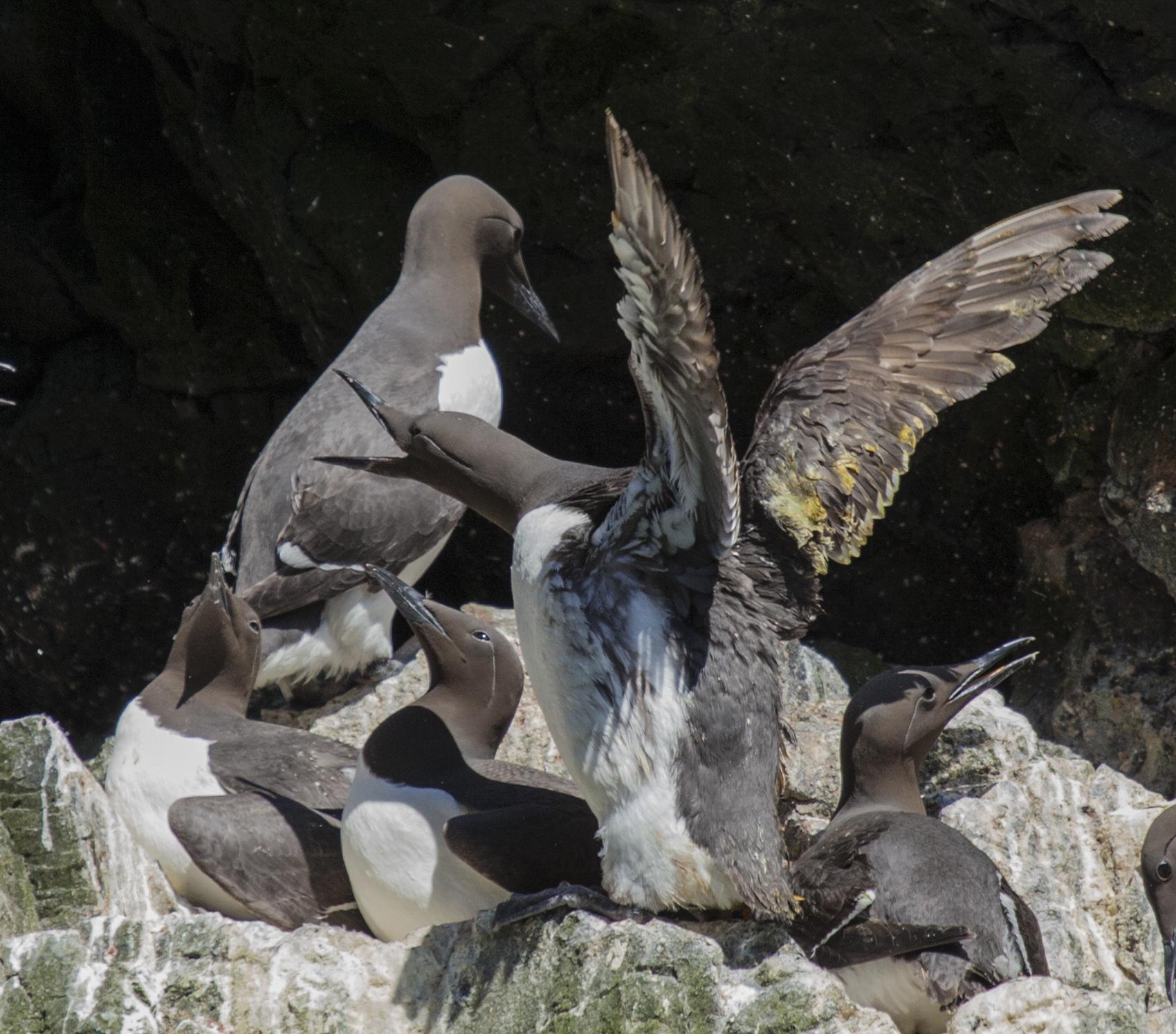 Nesting murres, Hall's Island