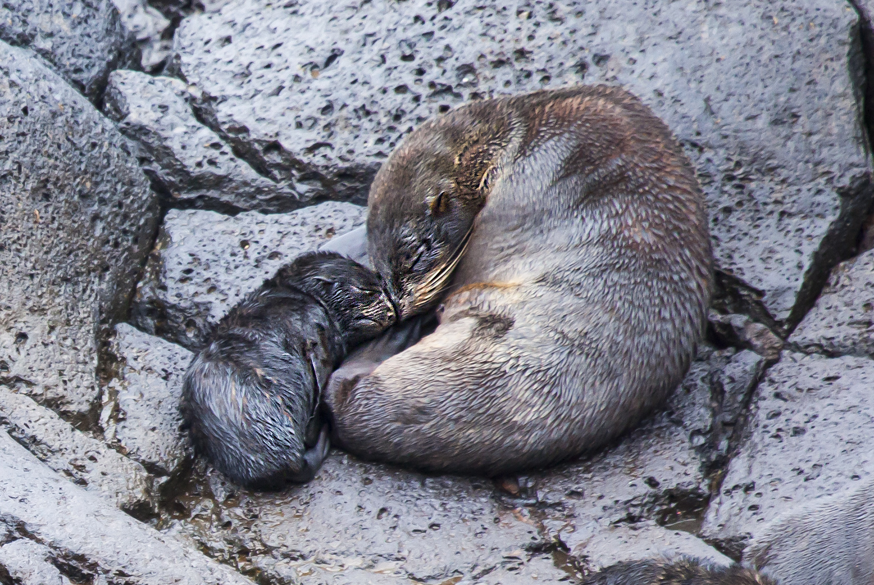 Newborn fur seal pup