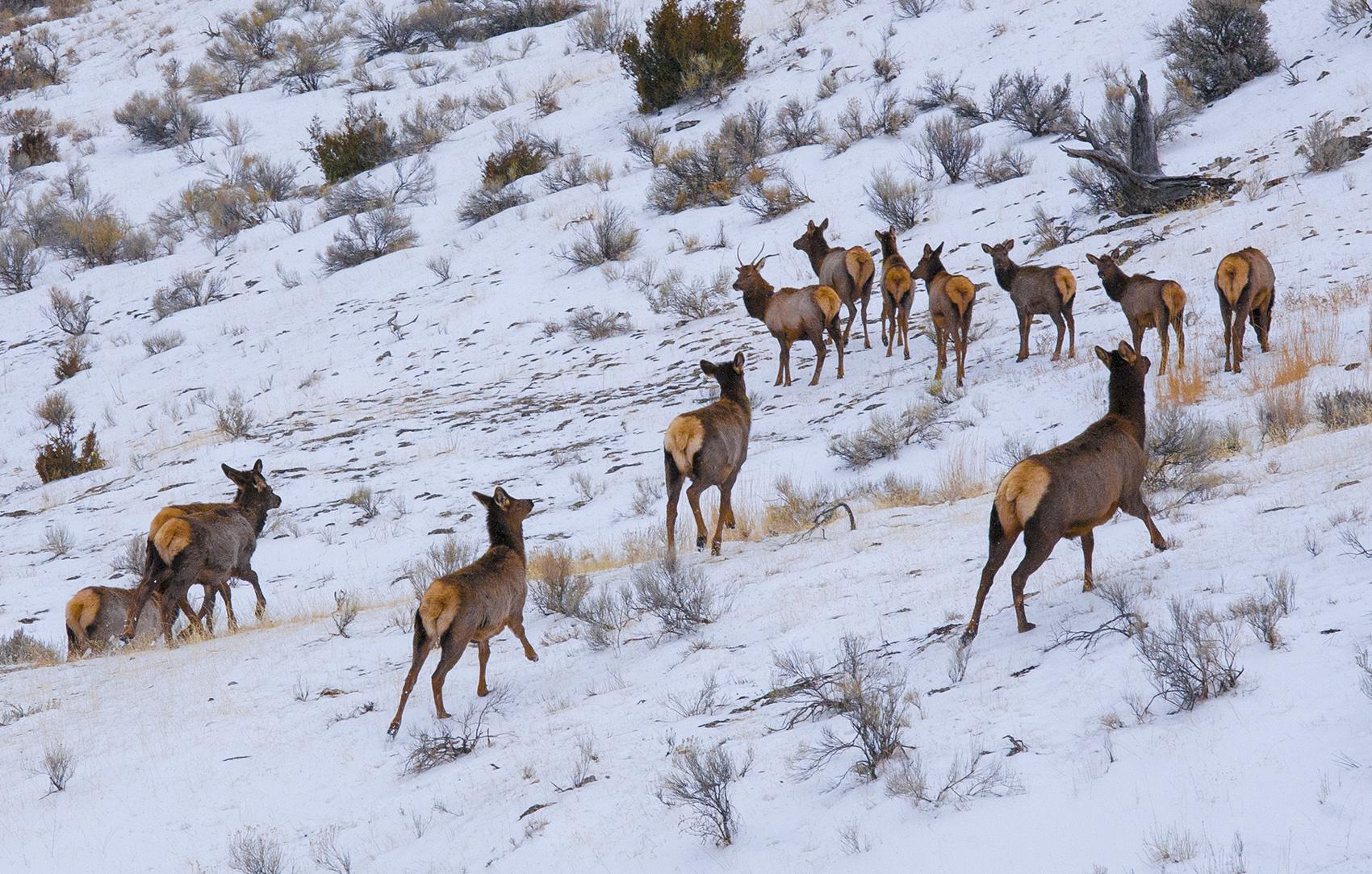 Running elk