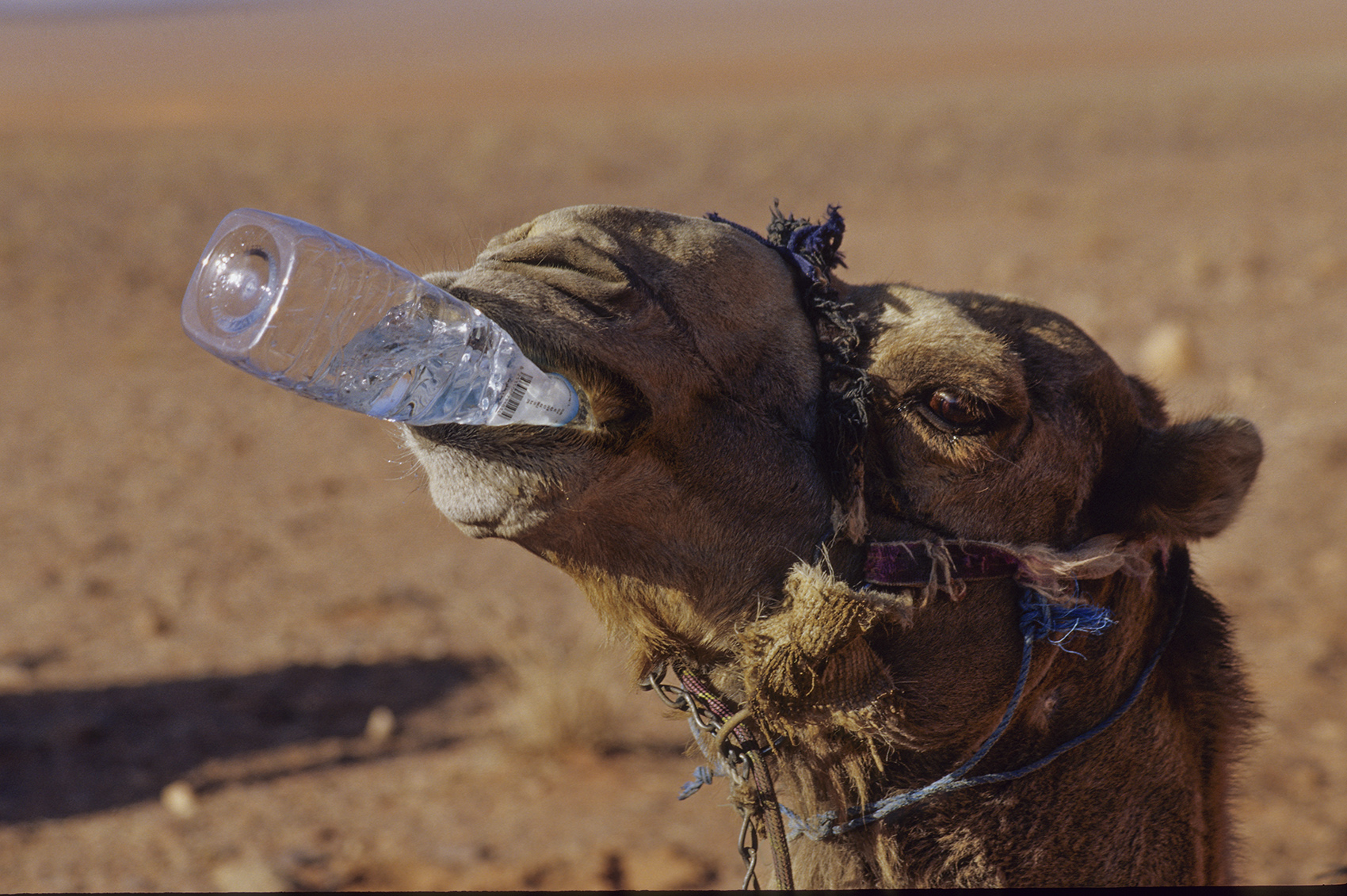 Thirsty camel