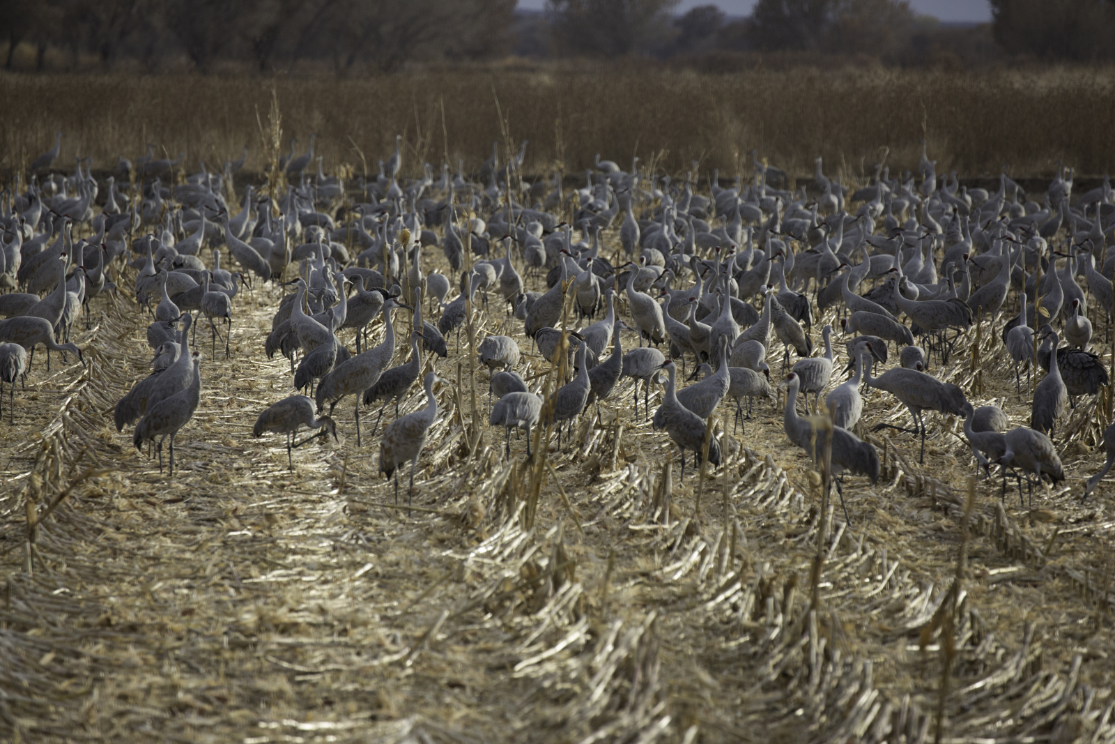Sandhill Cranes Feeding in Corn Field