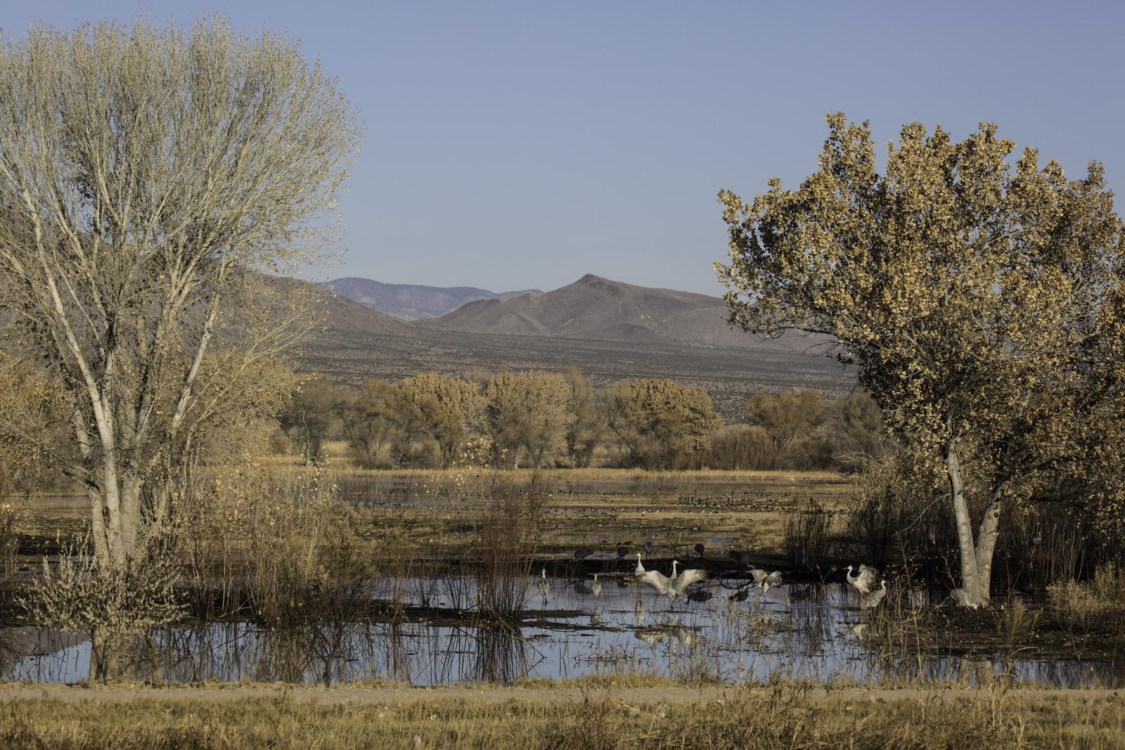 Sandhill Cranes in a Pond