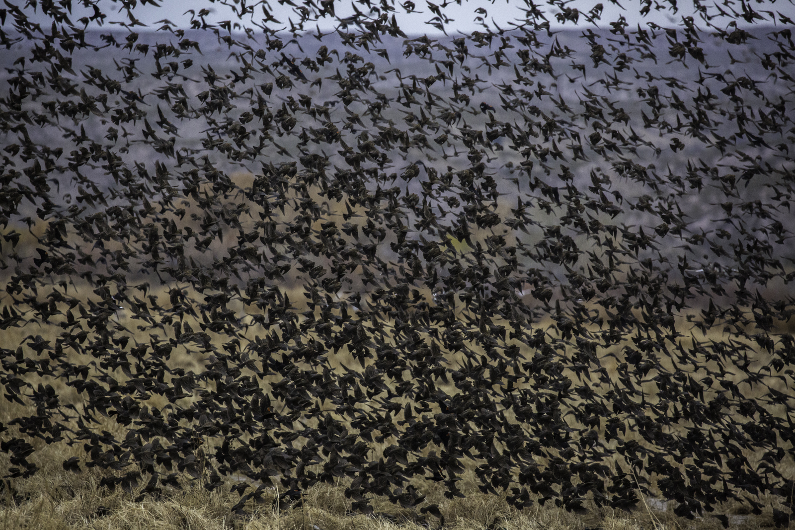 Redwing Blackbirds Flocking from Feeding Site