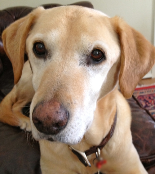 Atticus, our family's yellow labrador