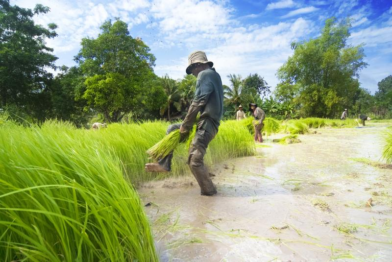Rice planting in Siem Reap