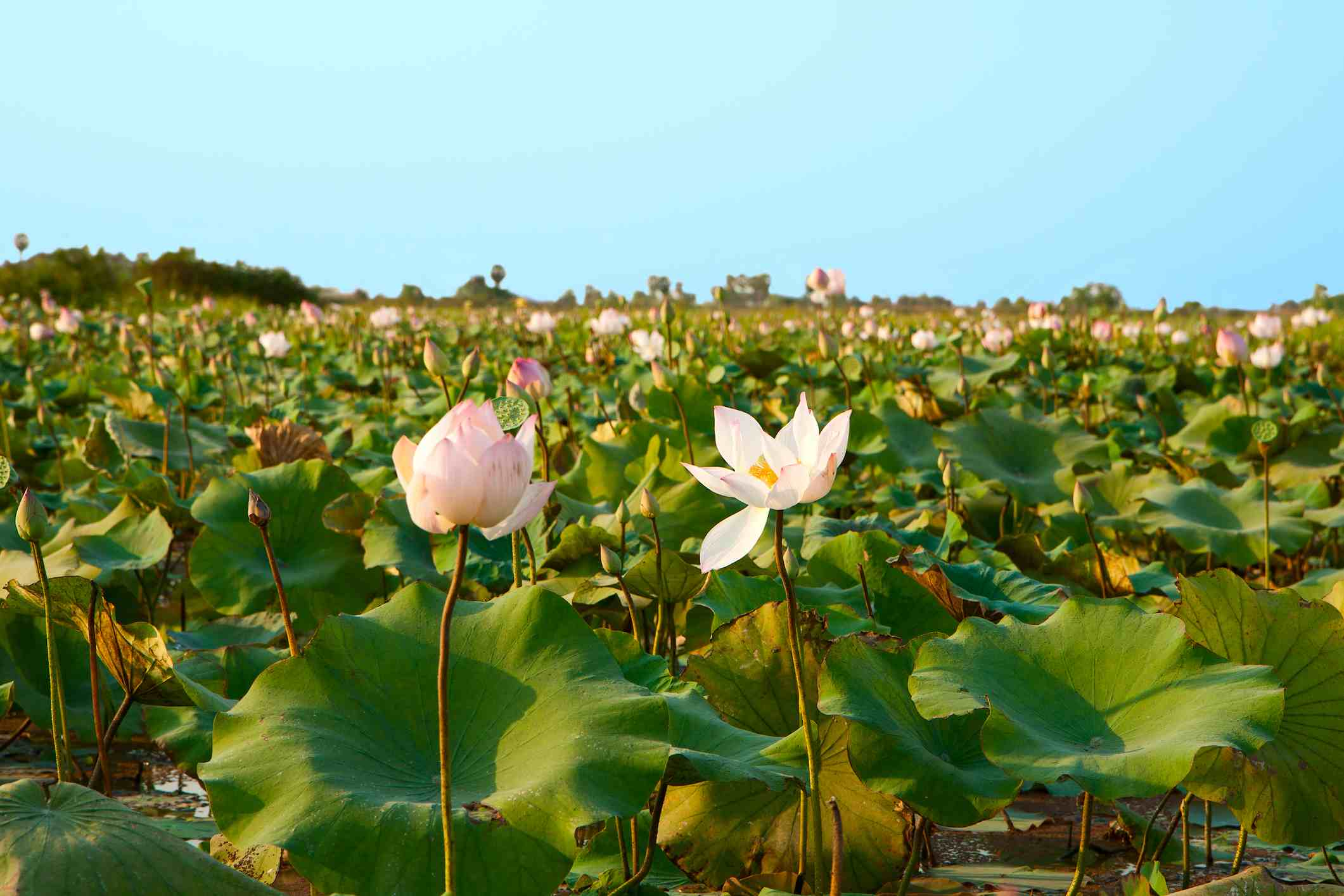 Lotus fields in Cambodia