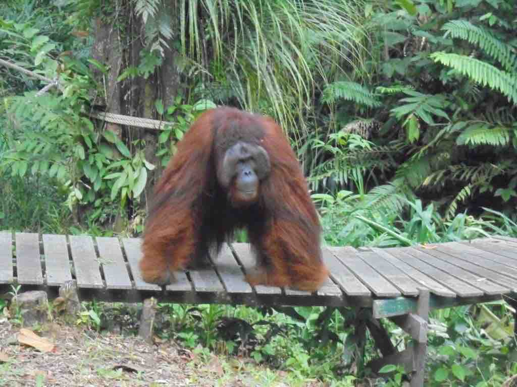 Ritchie the Orang Utan