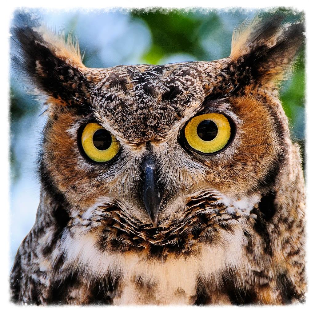 Raptor Education Group Great Horned Owl.jpg