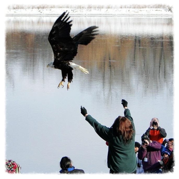 After months of care and physical reconditioning, a healthy bald eagle is released back into the wild.