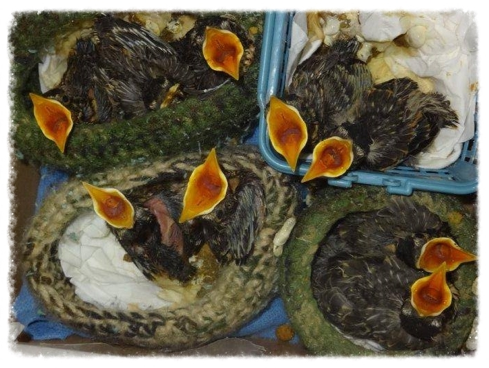 Baby birds require special diets and feeding schedules specific to their species to allow them to recover.
