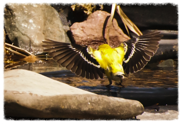 Providing a source of clean water for drinking and bathing is an excellent way to attract wild birds to your backyard.